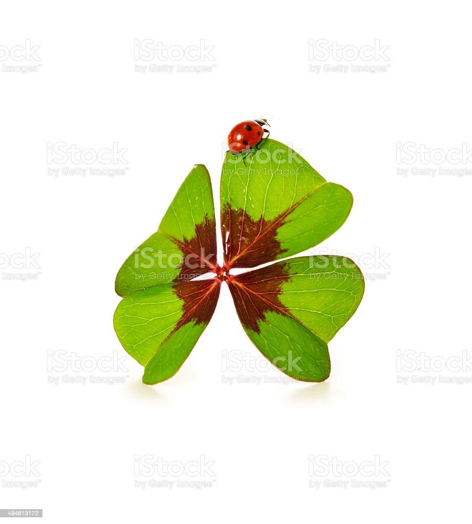 Four leaf clover and ladybug isolated on white background stock photo