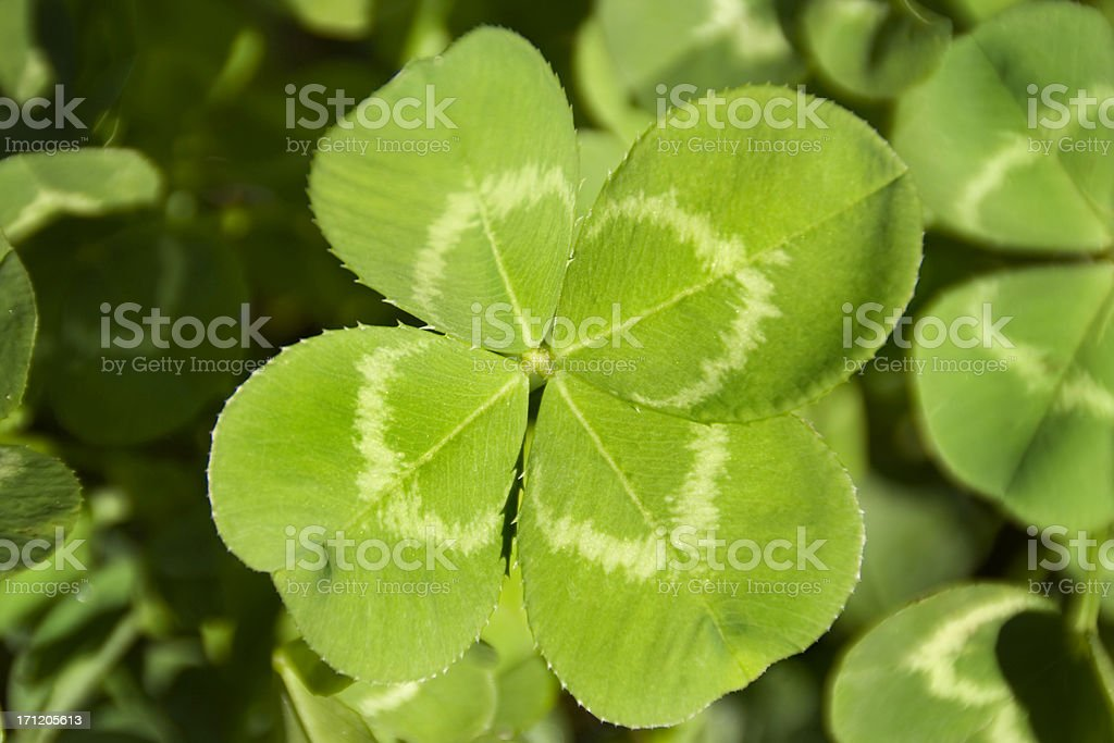 Lucky four leaf clover close-up in clover field. The green plant leaf...