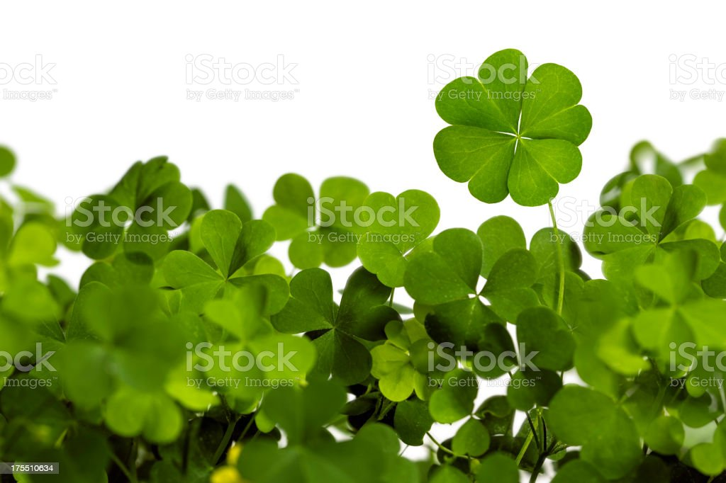 Four Leaf Clover Isolated on White stock photo