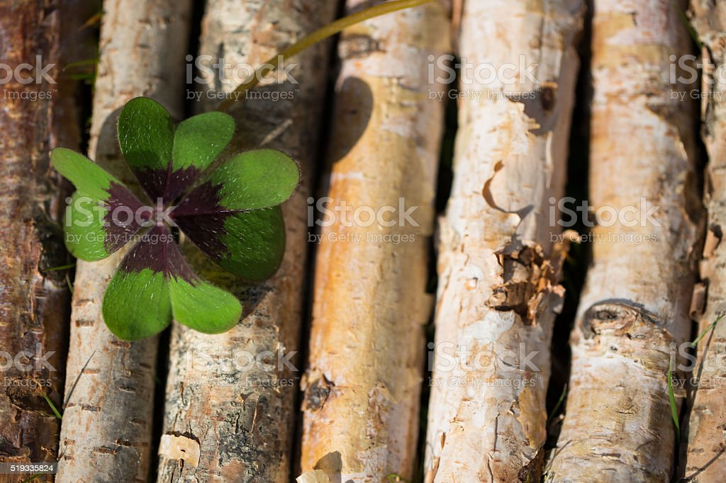 four leaf clover on birchwood stock photo