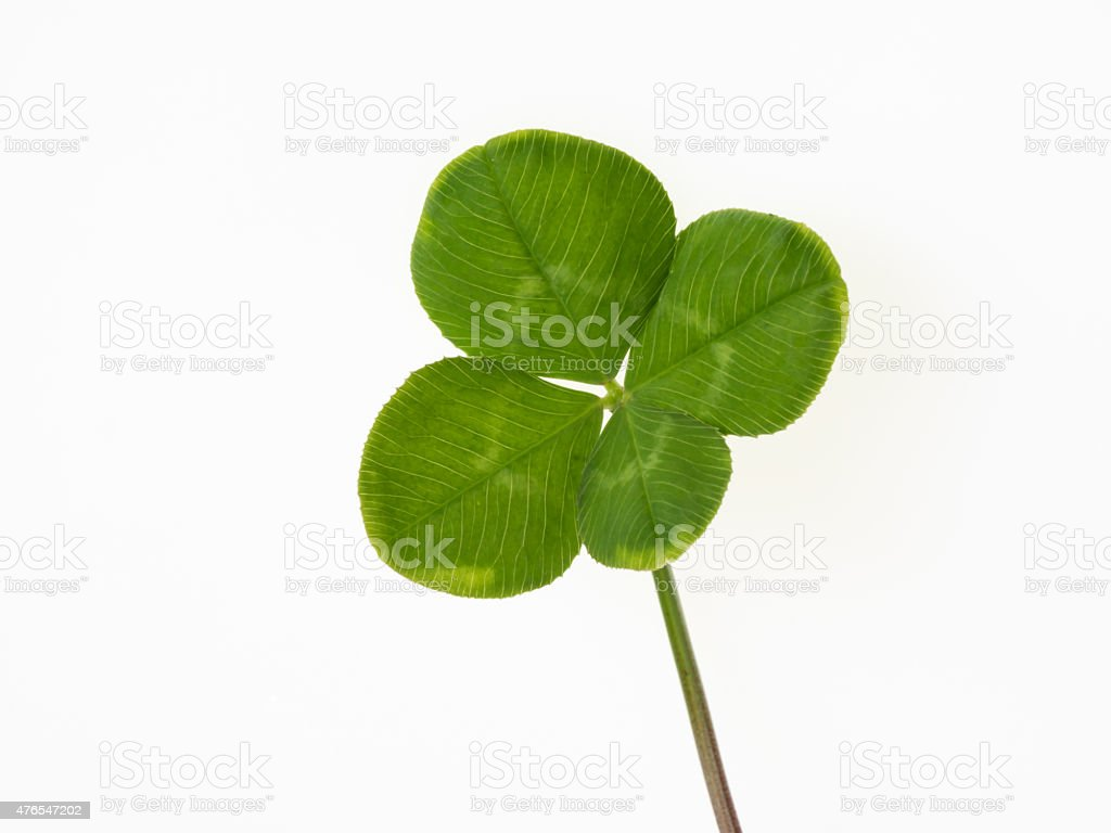 Four leaf clover on the white background stock photo