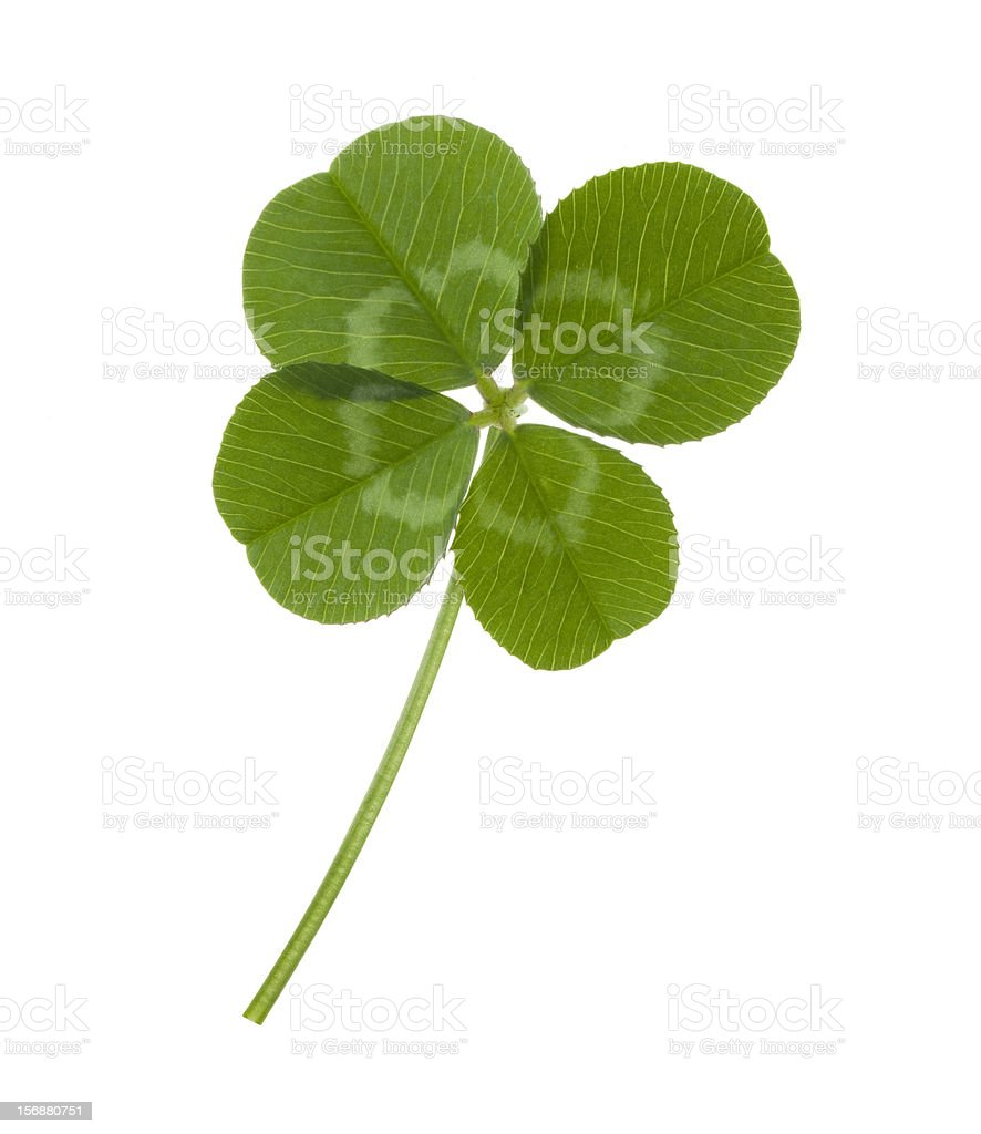Four leaf clover on white background royalty-free stock photo
