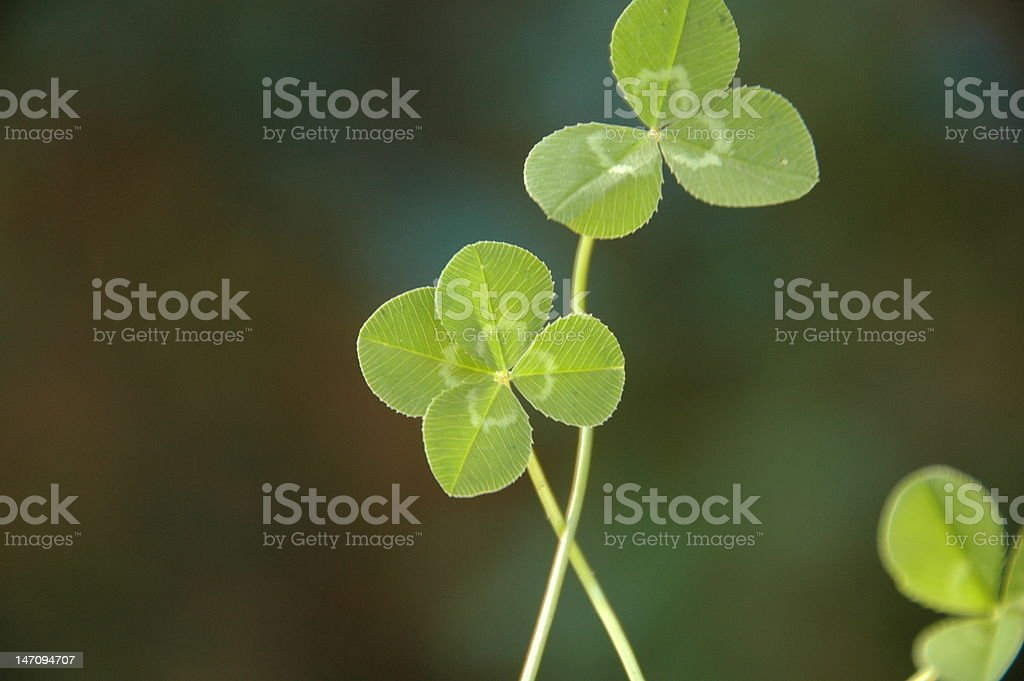 Four leaf clover royalty-free stock photo