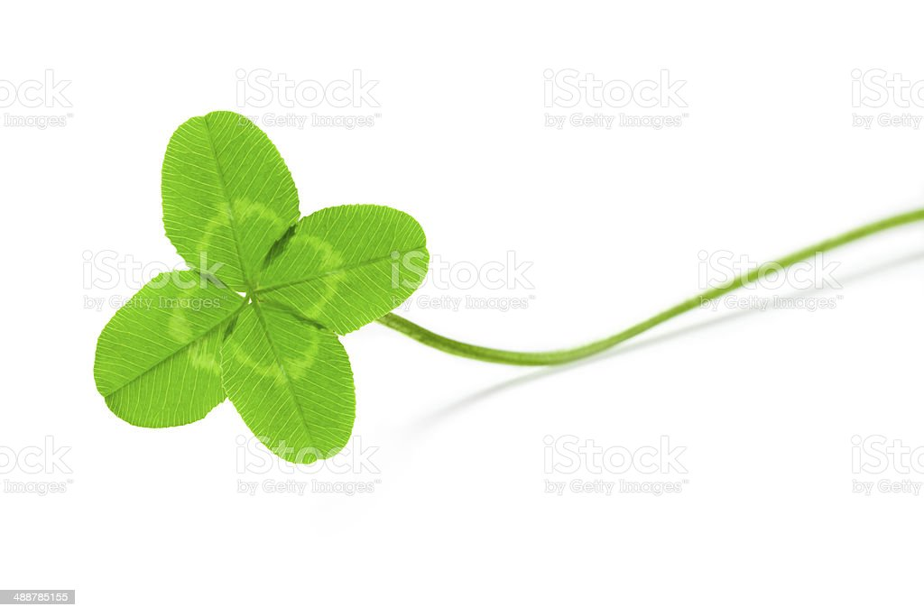 four leaf clover Trifolium repens stock photo