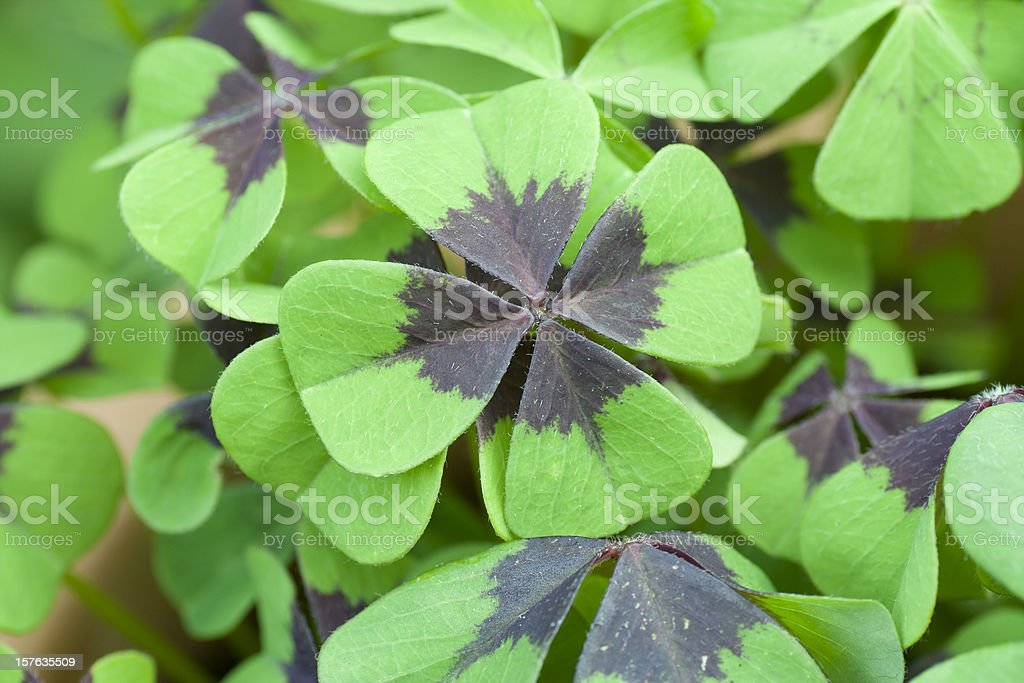 Four leaf clovers in a pot stock photo