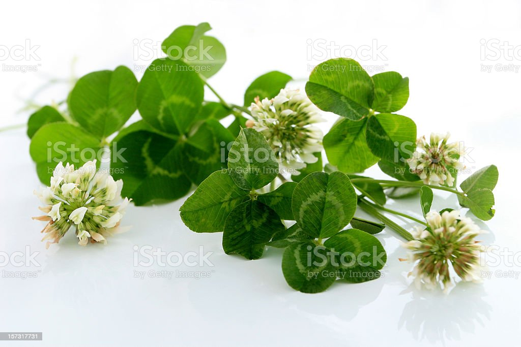Four leaf clovers. stock photo