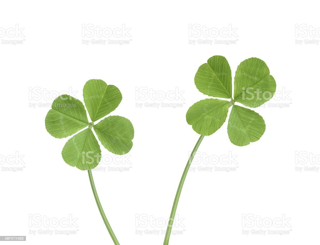 Four leaf clovers with clipping path stock photo