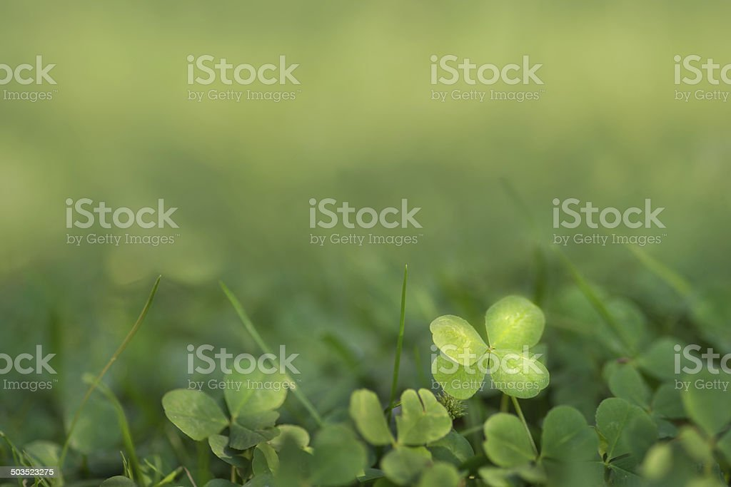 Four leaved fortune clover growing in sunlight on ground stock photo