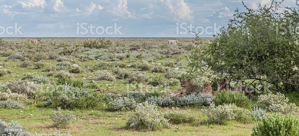 Four lionesses relaxing in Etosha NP, Namibia, Africa stock photo