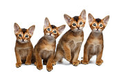 Four Little Abyssinian Kitten Sitting on Isolated White Background