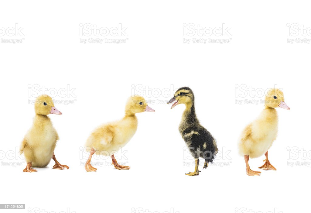 Four little ducklings on a white background stock photo
