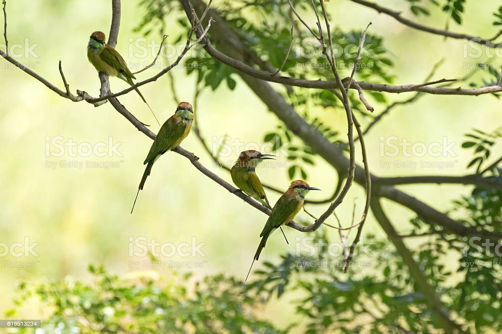 Four Little Green Bee-eater birds perching on tree branch, Thailand stock photo