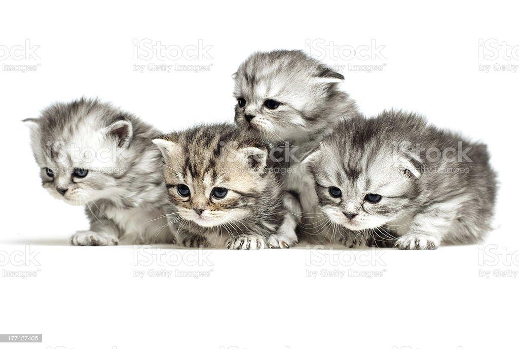 Four little kitten royalty-free stock photo
