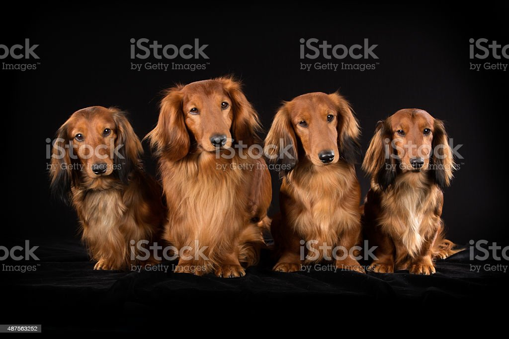 Four longhaired dachshund dogs stock photo