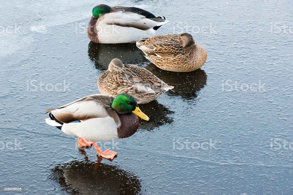 Four mallard ducks on ice of a frozen lake stock photo