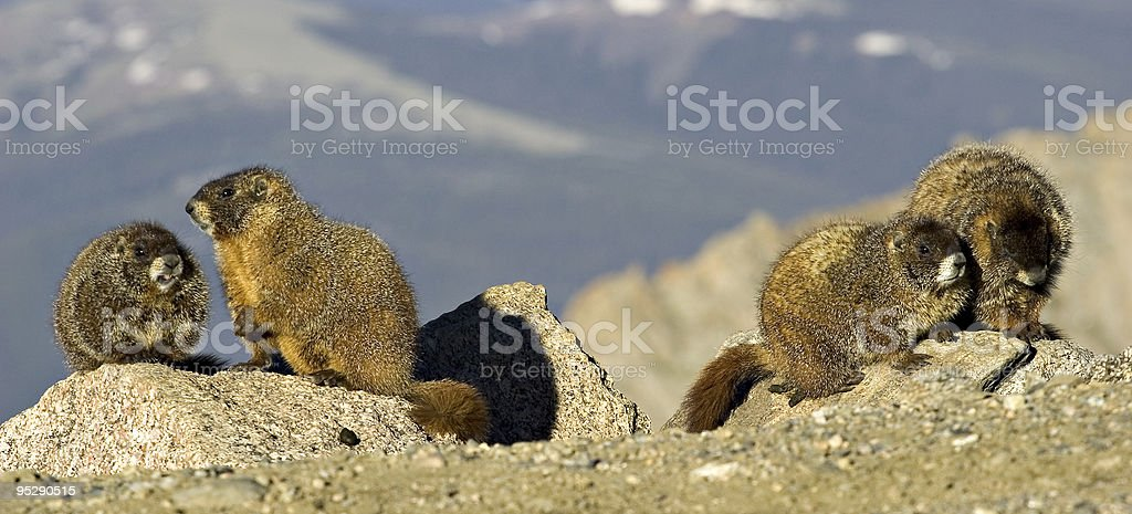 Four Marmots Playing On Rocks at Mount Evans, Colorado stock photo