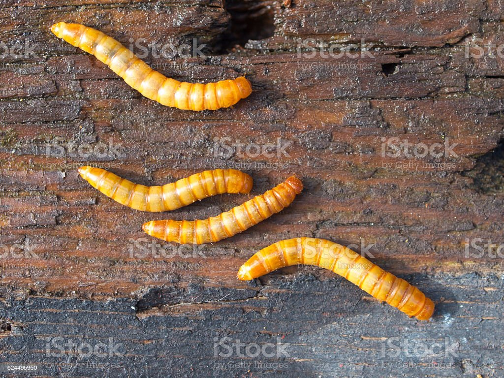 Four mealworms background detail stock photo