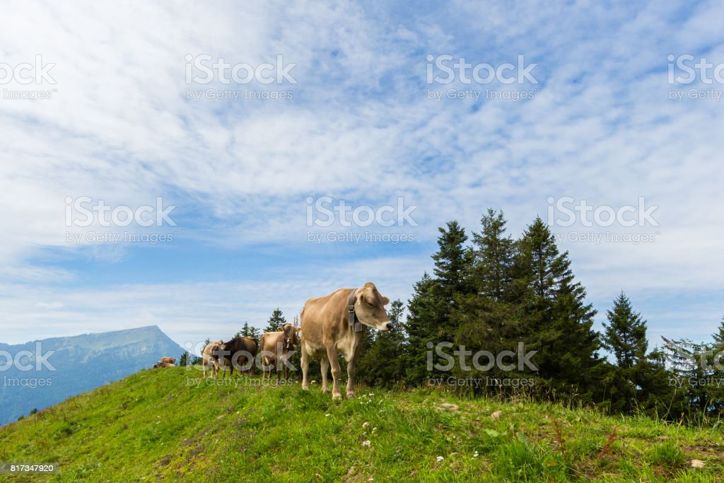 four milk cows in meadow Switzerland with mount Rigi and trees stock photo