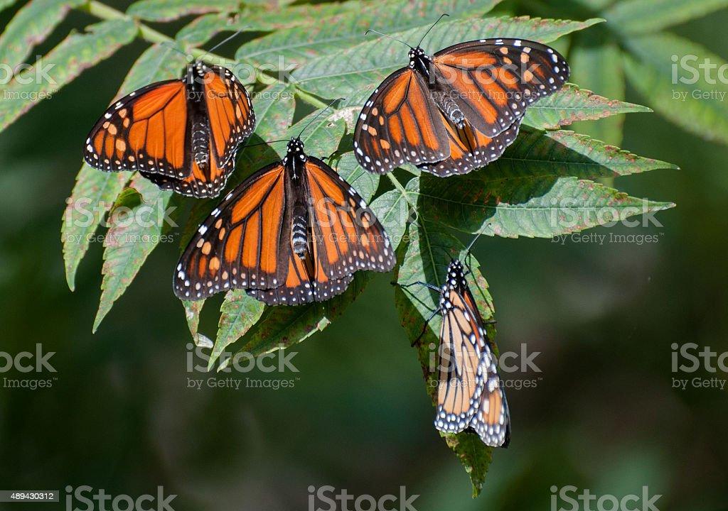 Four Monarch Butterflies Sunbathing on a Branch stock photo