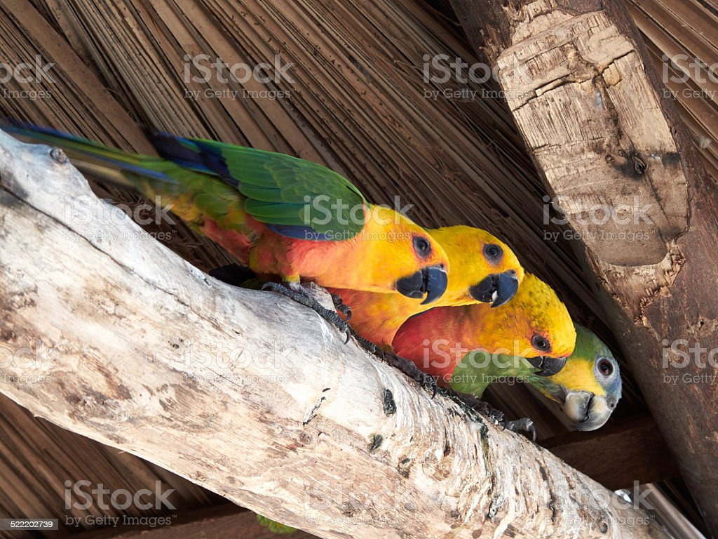 Four parrots stock photo