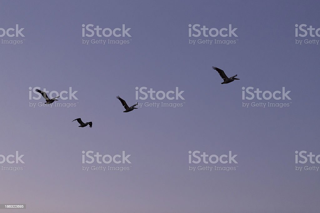 four pelicons flying royalty-free stock photo