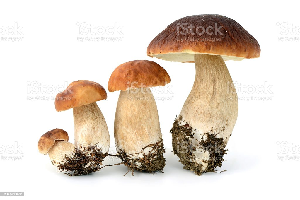 four penny bun mushrooms on isolated background stock photo