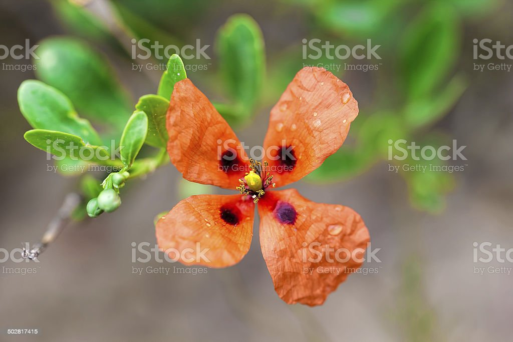 four petals red poppy seeds royalty-free stock photo