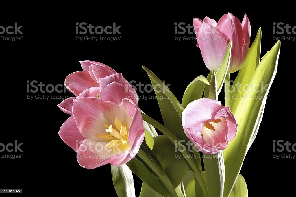 four pink tulips on black background, isolated, with path royalty-free stock photo