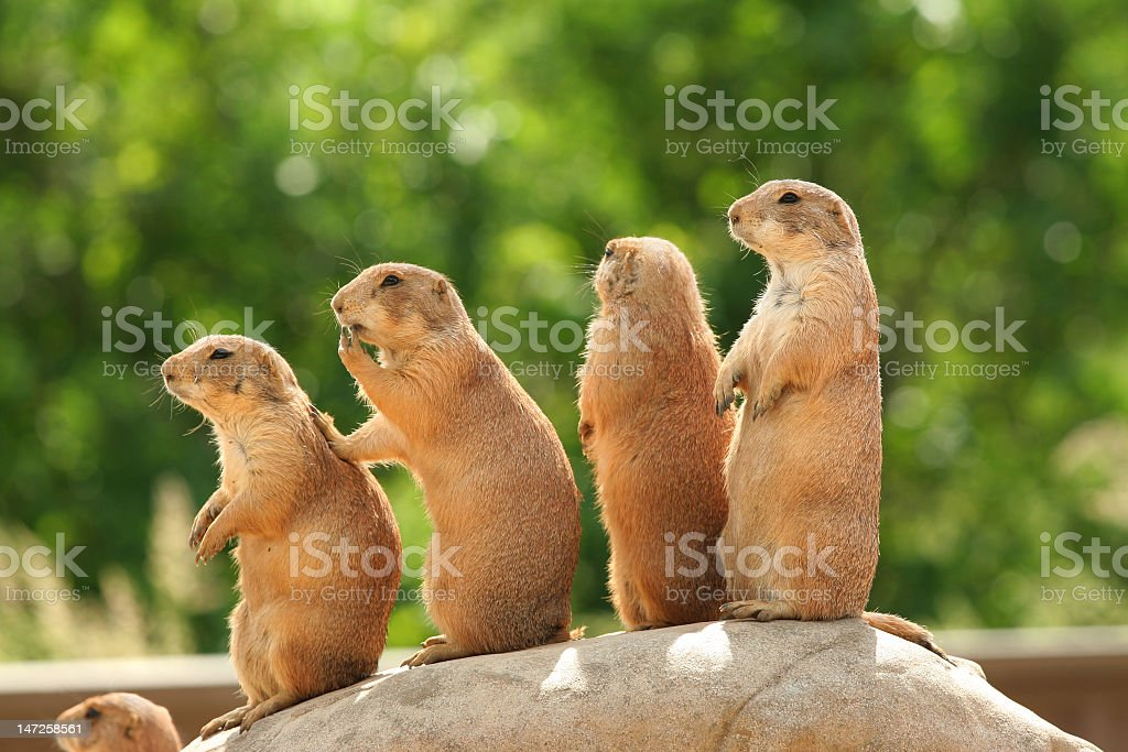 Four prairie dogs standing in a line on a rock stock photo