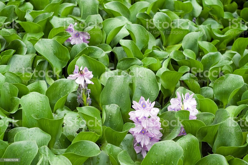 Four purple water hyacinths among green plants stock photo