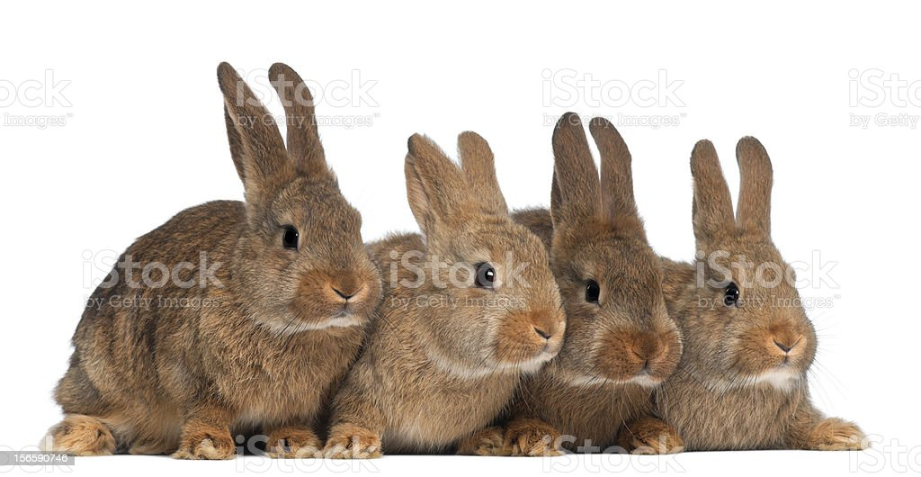 Four rabbits against white background royalty-free stock photo