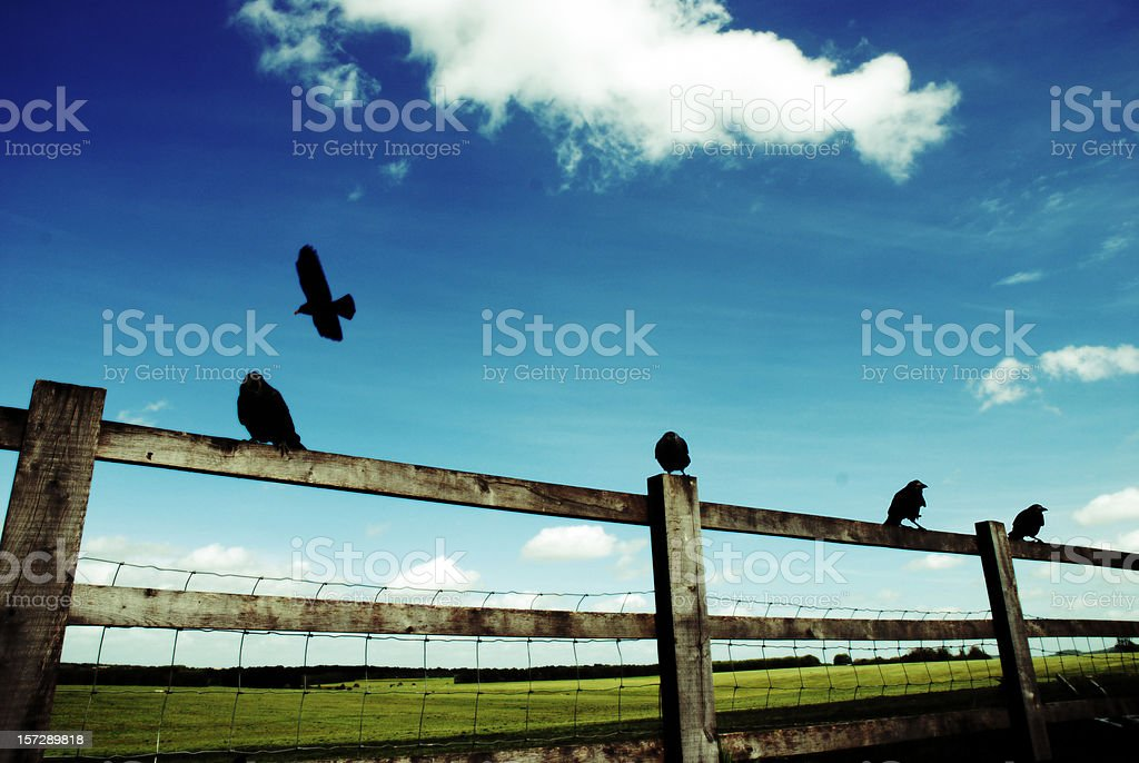 Four ravens sitting on fence and one flying royalty-free stock photo
