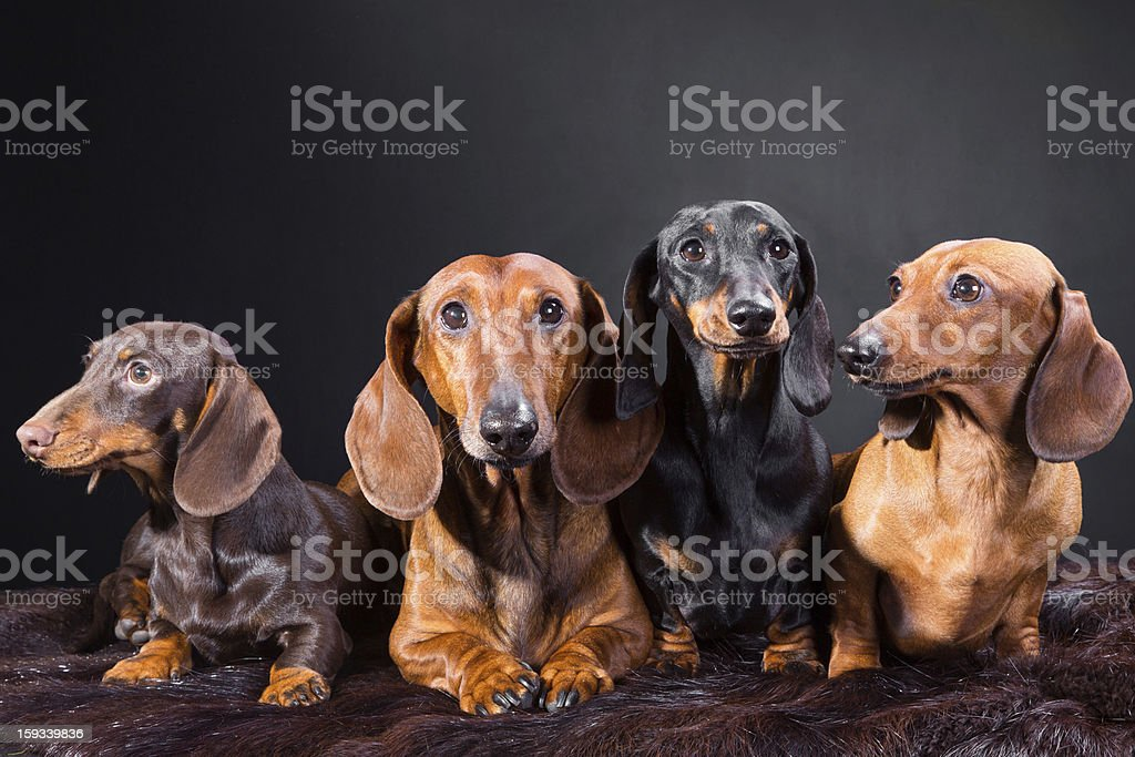 four red, black and chocolate sausage dogs royalty-free stock photo