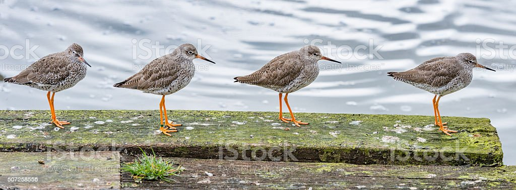 Four redshanks in a row stock photo