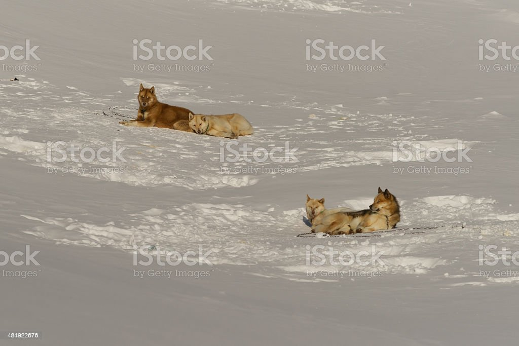 Four sled dogs resting in the snow