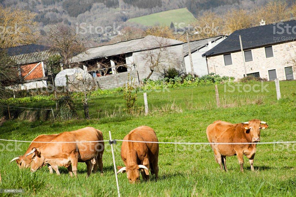Four 'rubia gallega' cows on green meadow, farm buildings. stock photo