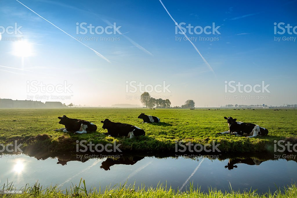 four ruminating cows  in green meadow. stock photo