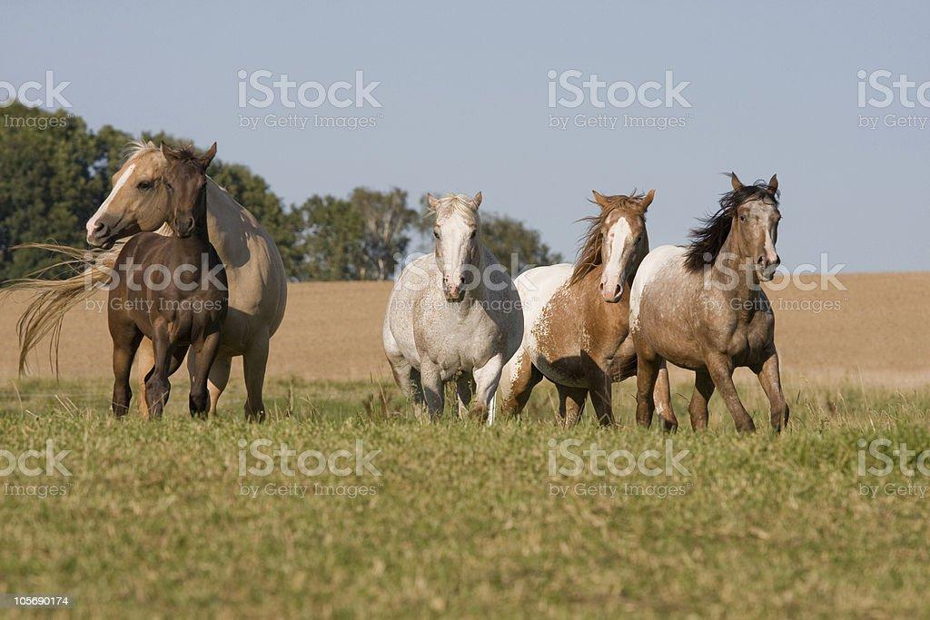 Four running beautiful Appaloosa horses royalty-free stock photo