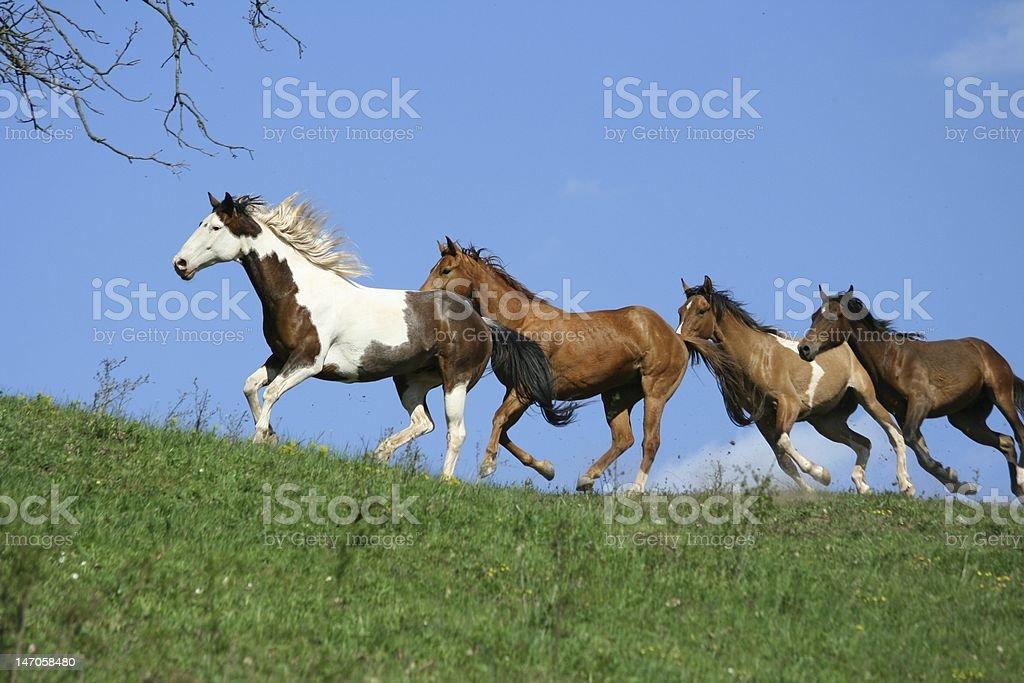 Four running horses stock photo