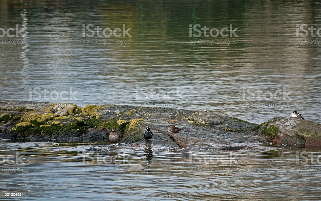 Four Sea Ducks on Rock stock photo