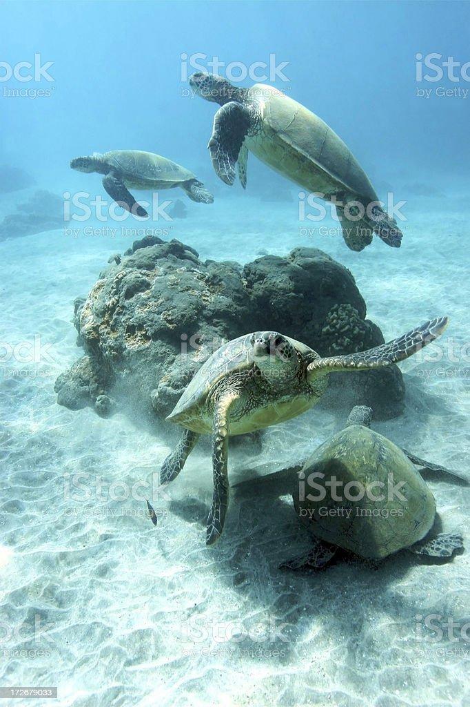 Quatre des tortues de mer photo libre de droits