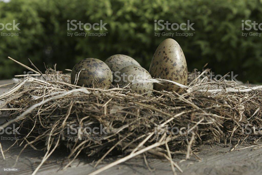 Four Seagull Eggs royalty-free stock photo