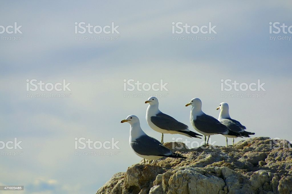 Four seagulls looking seaward royalty-free stock photo