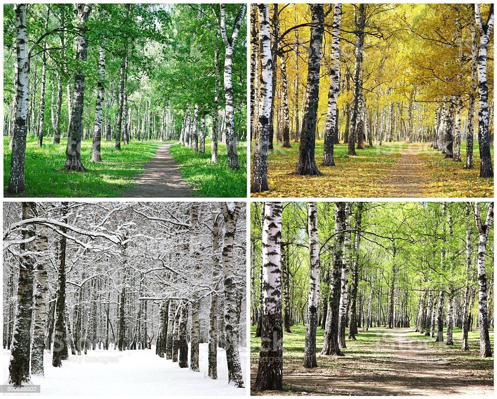 Four seasons of row birch trees