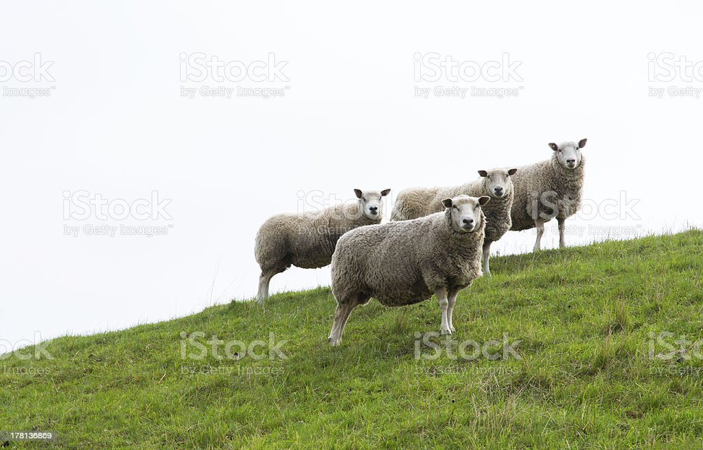 Four sheep royalty-free stock photo
