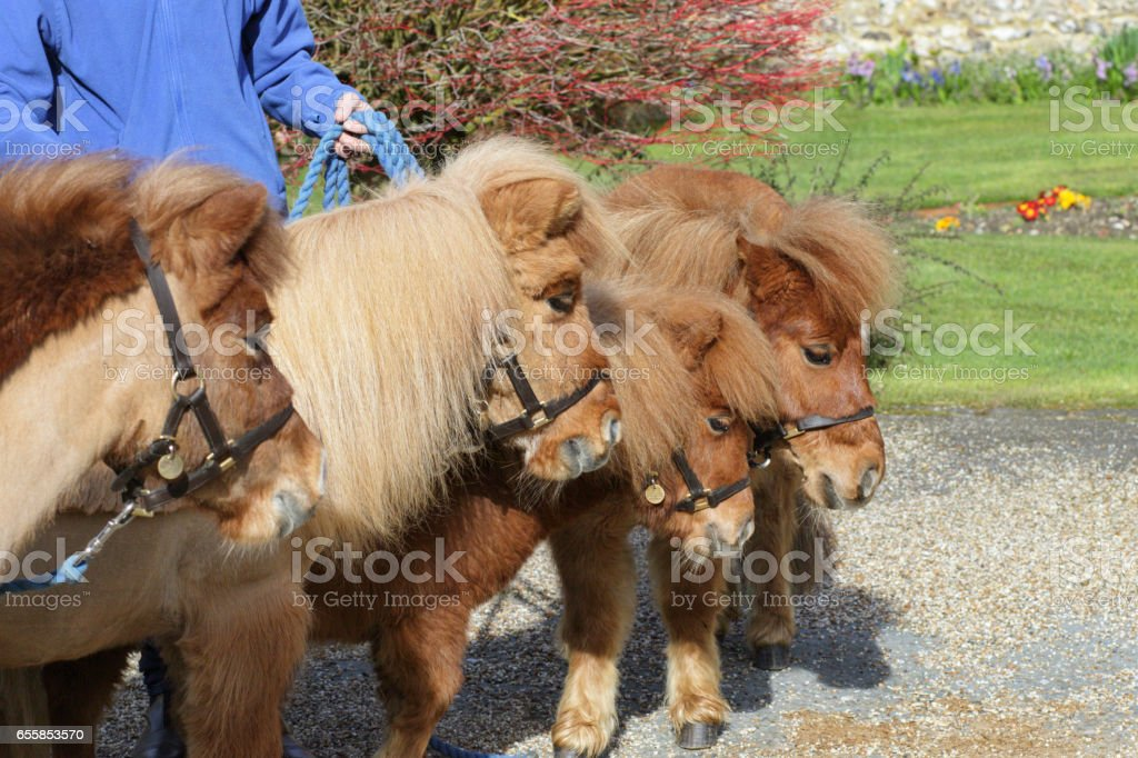 Four Shetland ponies grzing on bridle stock photo