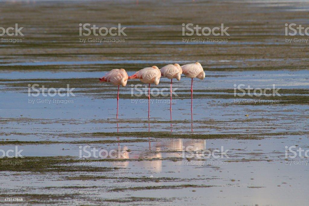 Four sleeping flamingos in a row stock photo