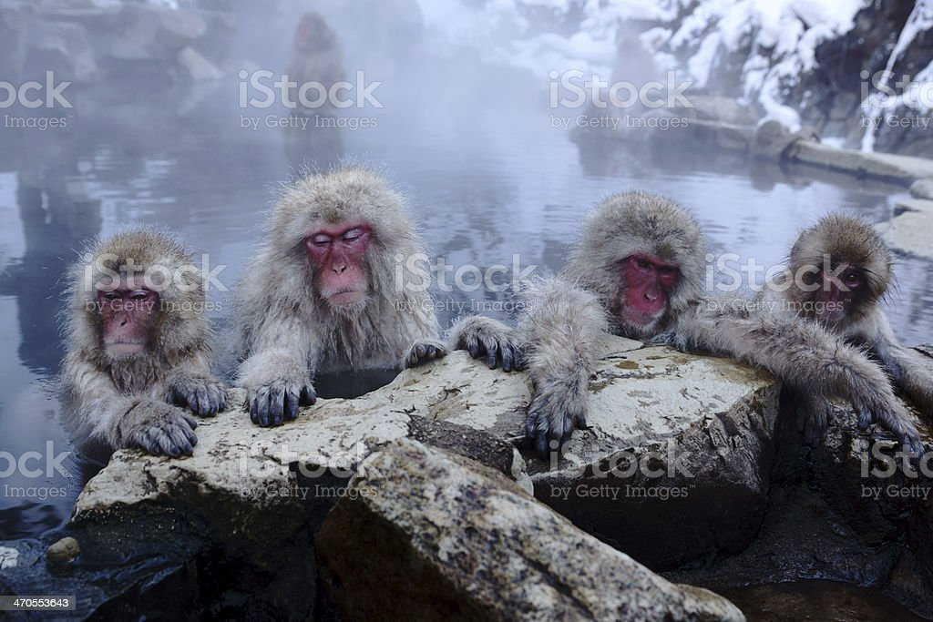 Four snow monkeys resting on a rock ledge stock photo