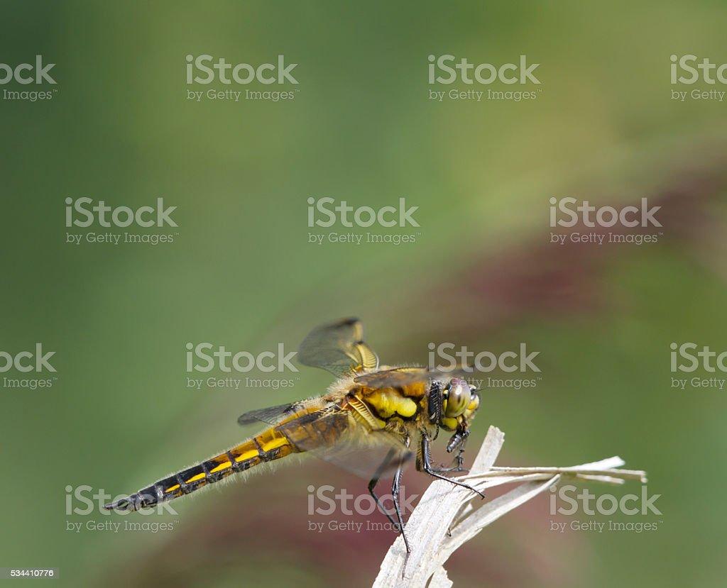 Four Spotted Chaser (Libellula quadrimaculata) feeding stock photo