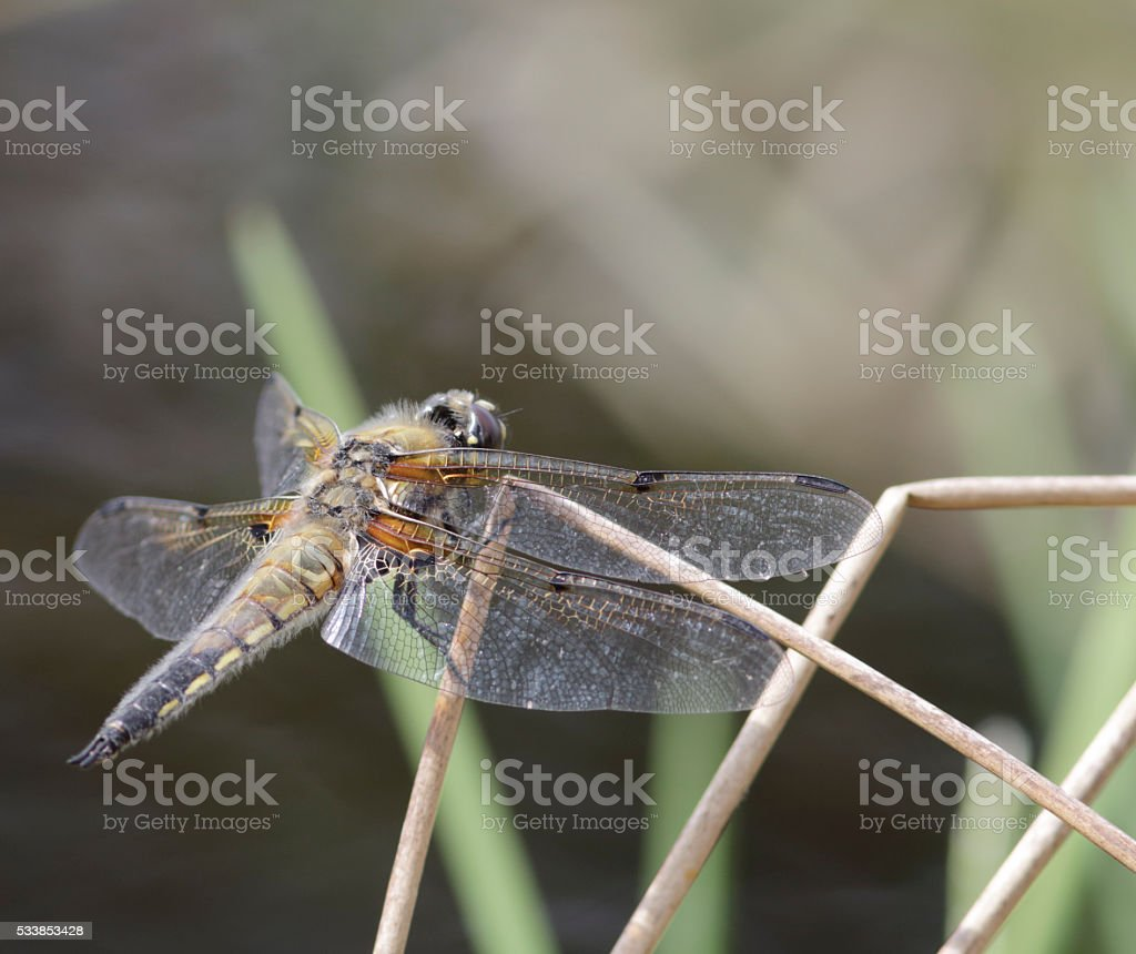 Four Spotted Chaser (Libellula quadrimaculata) stock photo